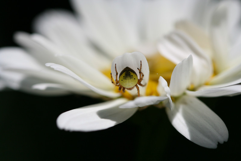 Tiny Spider on Shasta Daisy