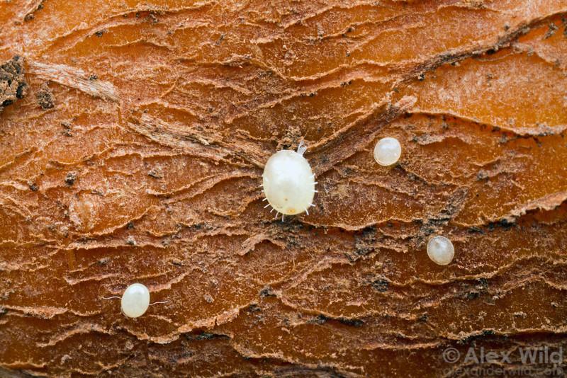 First and second instar ground pearls, Eurhizococcus, on a cassava tuber.  Bento Gonçalves, Rio Grande do Sul, Brazil