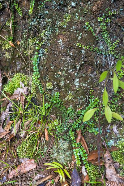 Greenery at Waiau Falls Scenic Reserve