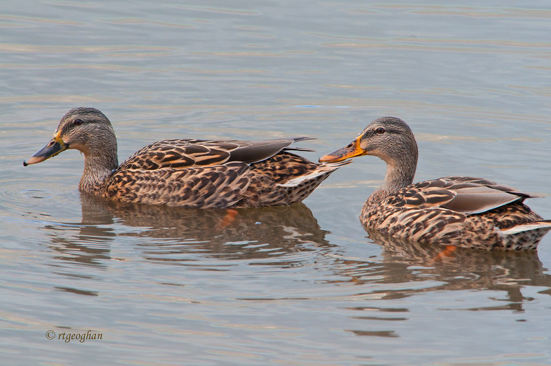 Nov 10_Female Mallards MCMarsh_7967.jpg