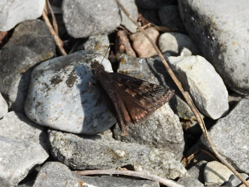 Juvenal's Duskywing (Erynnis juvenalis) in Area 3 - Photo by Don McLeod