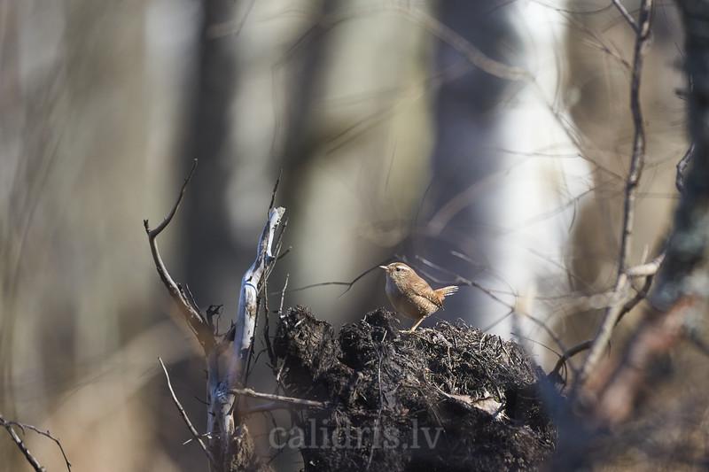 Eurasian Wren / Paceplītis