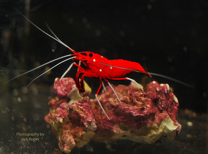 _Blood shrimp .jpg