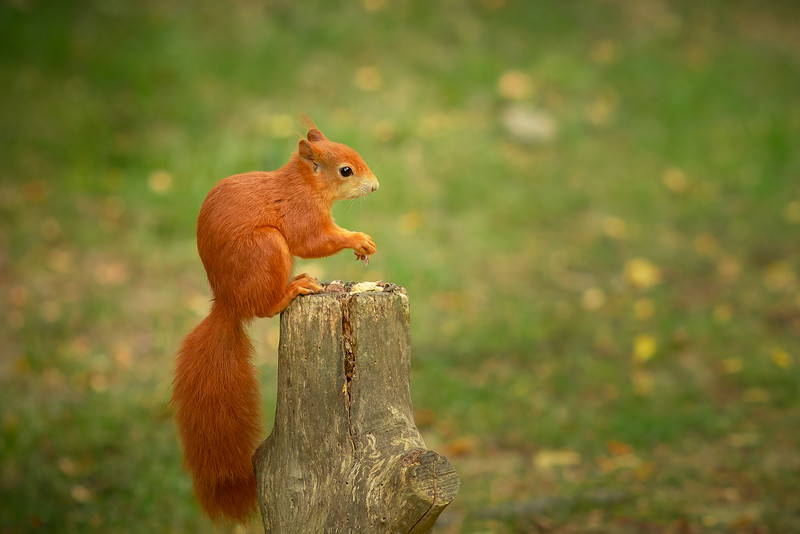 2020 - Red Squirrel 008