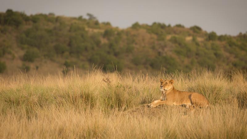 Lioness on a mound.jpg