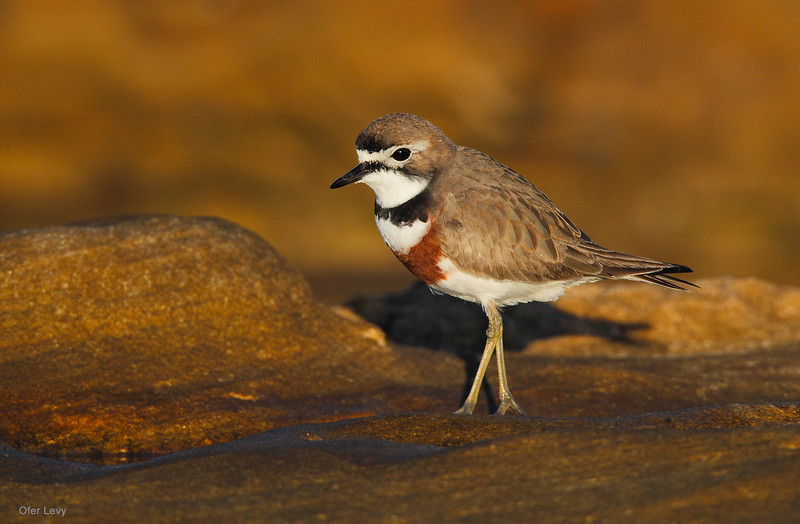 Double-banded Plover 4.jpg