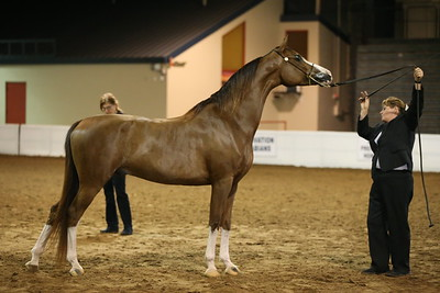 24 26 Arabian Geldings 2 & Over