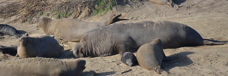 ano-nuevo-elephant-seals-2013 16.jpg