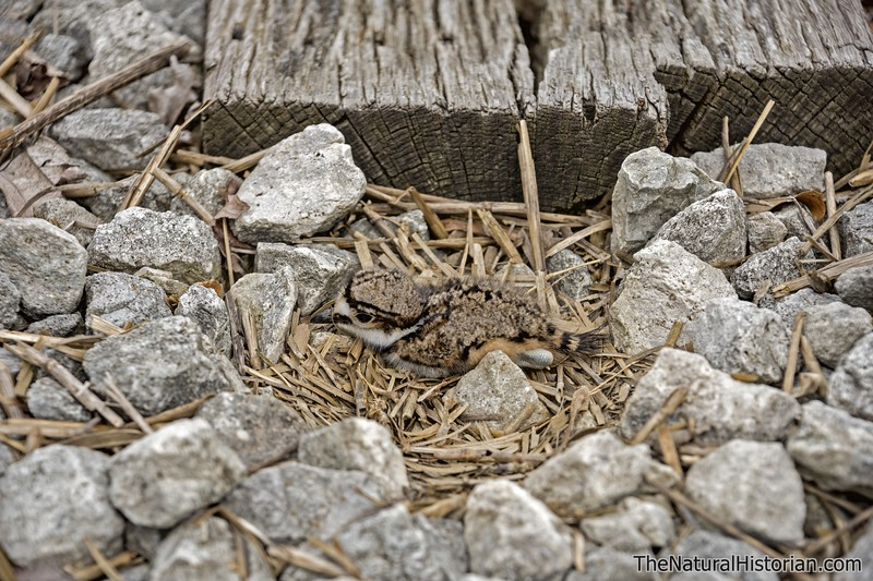 Killdeer-fledgling-in-nest-railroad-tracks.jpg
