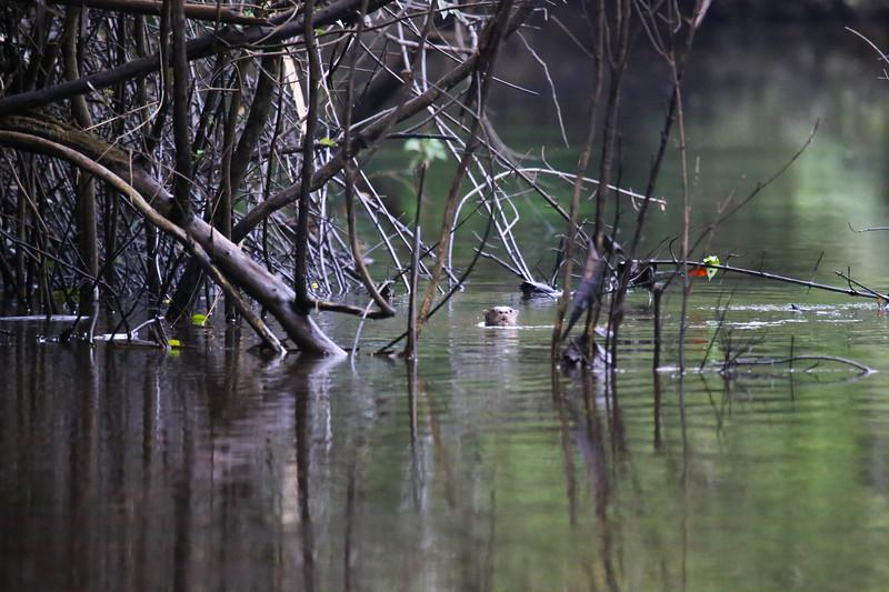 Neotropical River Otter (Lontra longicaudis)