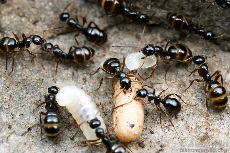Formica neogagates