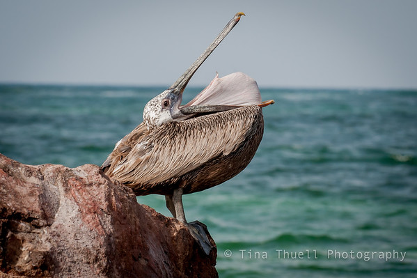The Brown Pelican,  NEVIS WI
