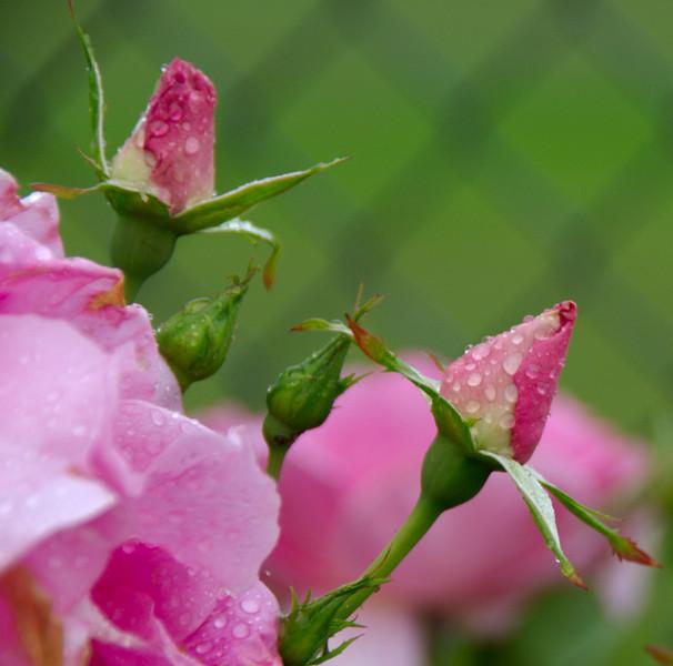 Rosebuds outside the Blue Bell Plant