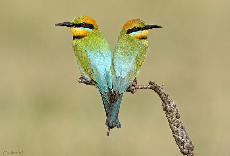 Rainbow bee-eaters 1.jpg