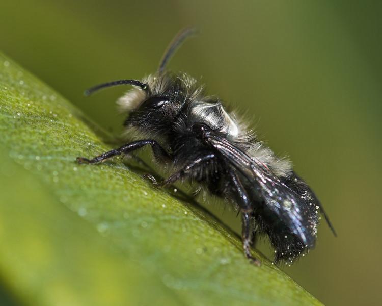 Mason Bee, male