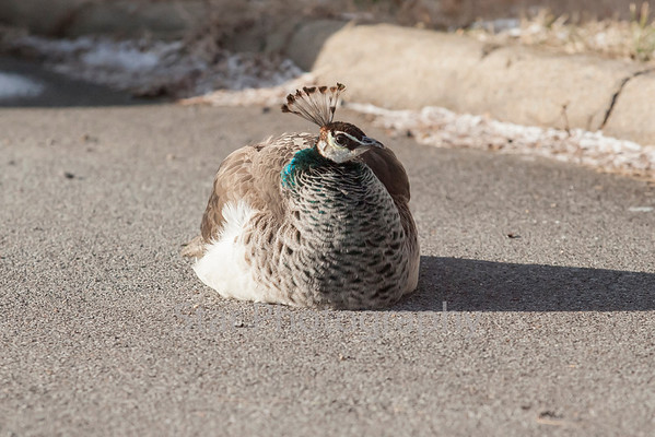 One Cold Peacock 01-07-13