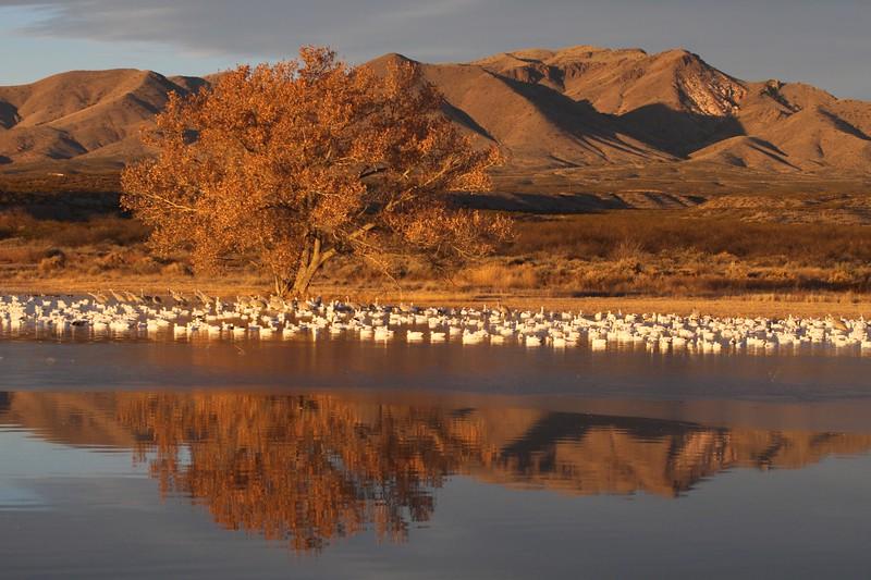 Sandhill Crane Bosque del Apache NWR Socorro NM Snow Geese and cottonwood 9291.jpg.jpg