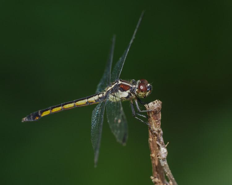 Slaty Skimmer, female