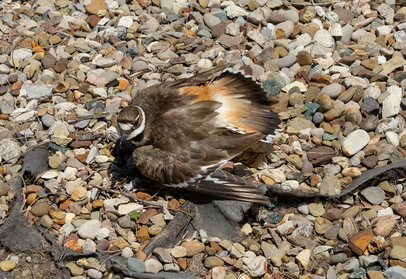 Killdeer-sittingonnestwarning-Lowes-AkronOH.jpg