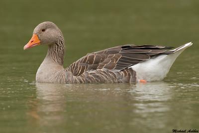 Greylag Goose/Feral Goose