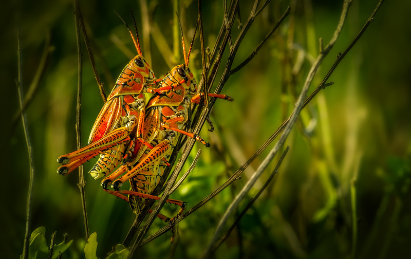Grasshoppers 105.jpg