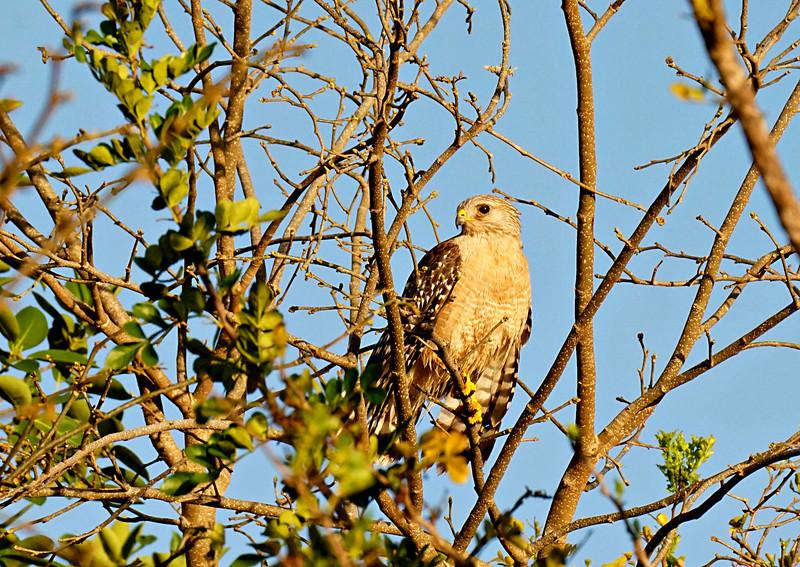 Red Shouldered Hawk, Everglades FL