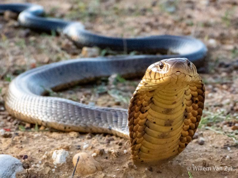 20200111 Brown Forest Cobra (Naja subfulva)