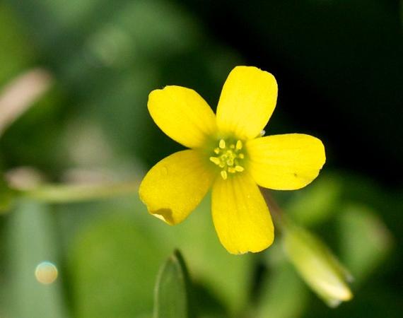 yellow oxalis weed