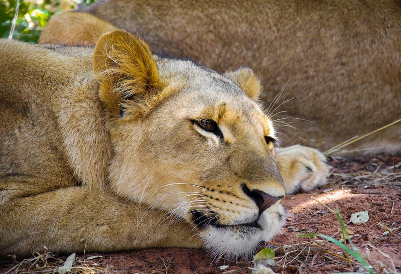 lion basking gin the sun in Zambia, Arica