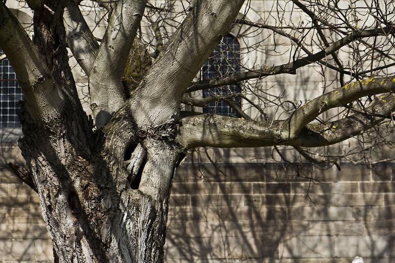 Thalbürgel, ehem. Klosterkirche: Baum im Klausurbereich