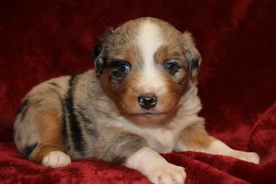 Tequilla/Kona litter   - 4 weeks