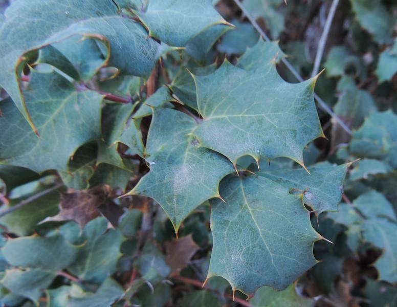 California Barberry (Berberis aquifolium) BERBERIDACEAE
