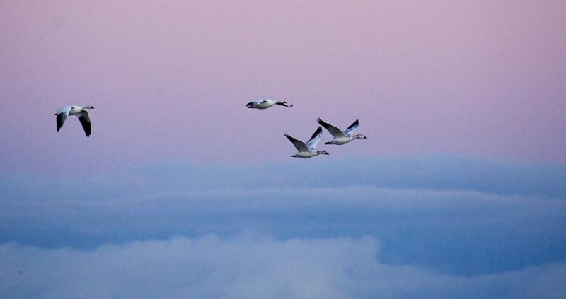 4 geese flight - Copy.jpg