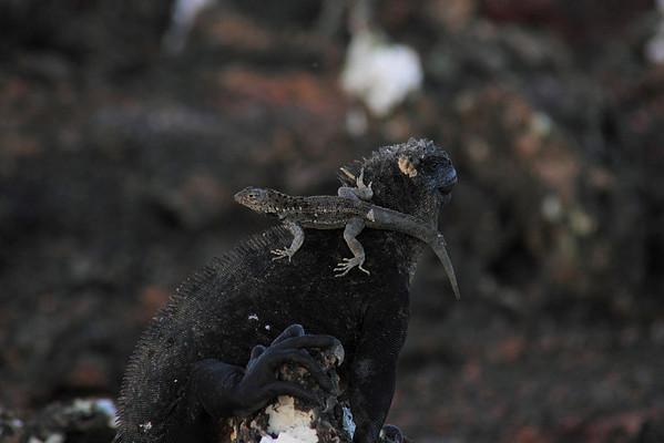 Lava Lizard Galapagos