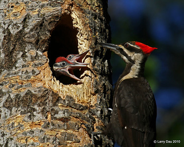 Nesting Pileated Woodpeckers - Minong Wisconsin