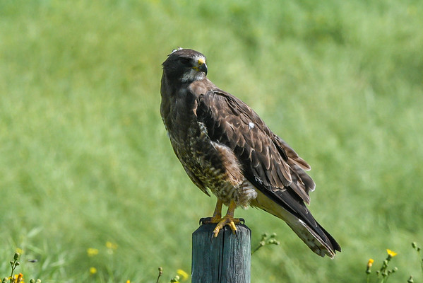 8-5-16 Swainson's Hawk