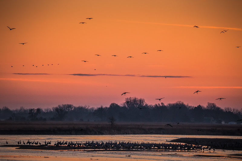 Sandhill Cranes Coming to Roost