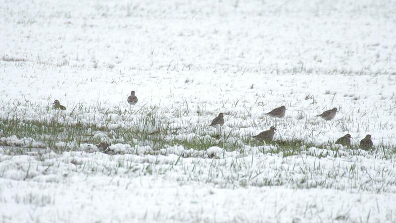American Golden Plover flock in snow Dart Road CR229 Sax-Zim Bog MN-1033701.jpg