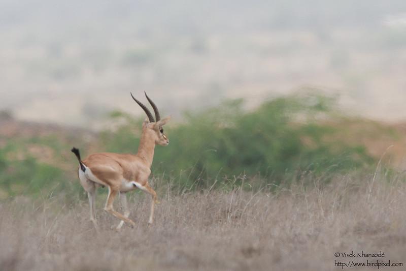 Chinkara - Kutch, Gujrat, India