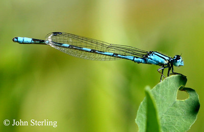 Sterling's California Dragonflies and Damselflies
