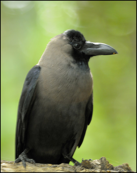 The common Crow...