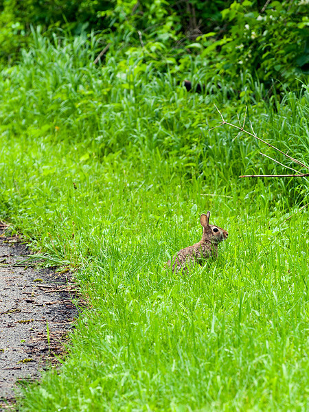 clip-015-rabbit-wdsm-30may13-0731