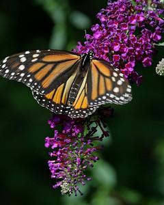 Monarch 07-25-09