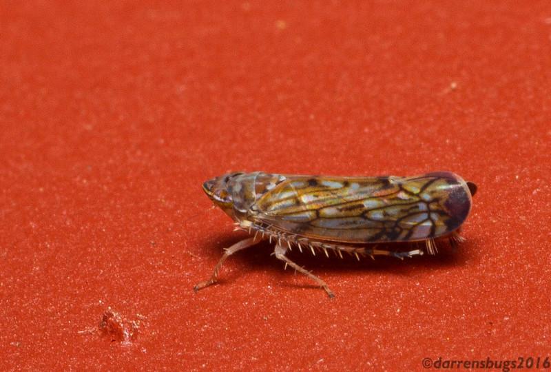 Leafhopper, Scaphoideus carinatus. (Iowa, USA)