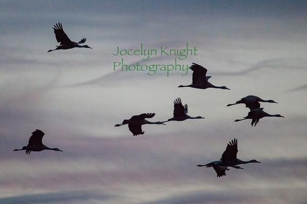 Ornithology Field Trip#8 - Consumnes Preserve