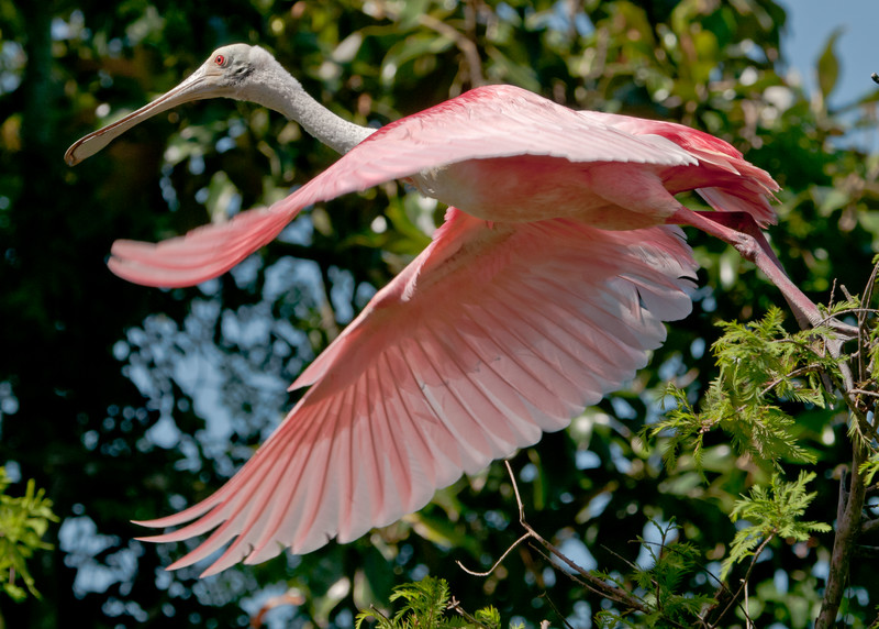 Roseate Spoonbill, Flying at the Alligator Farm #2 05/14