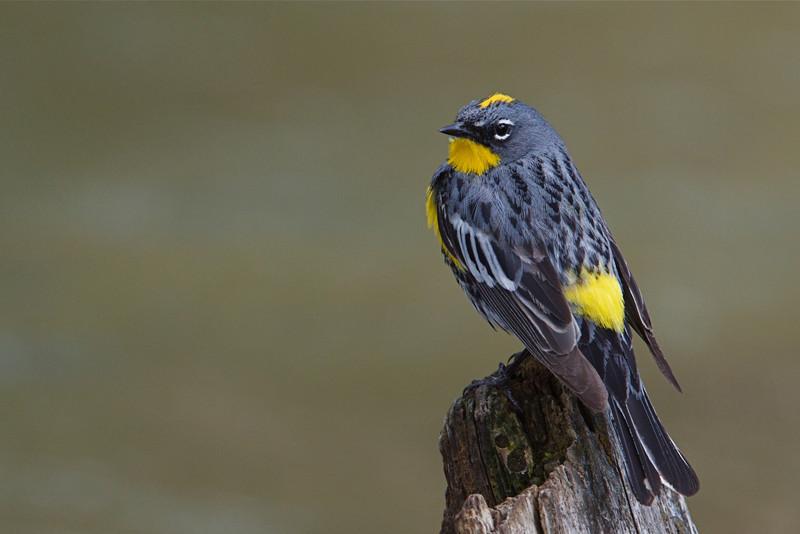Yellow-rumped Warbler, Audubon's variety Lava Creek, Yellowstone National Park