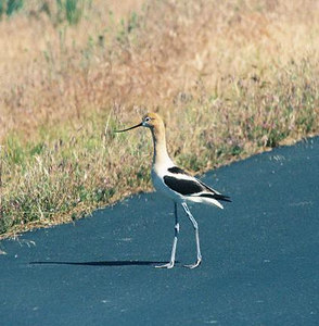 BIRDS: Stilts & Avocets (Recurvirostridae)