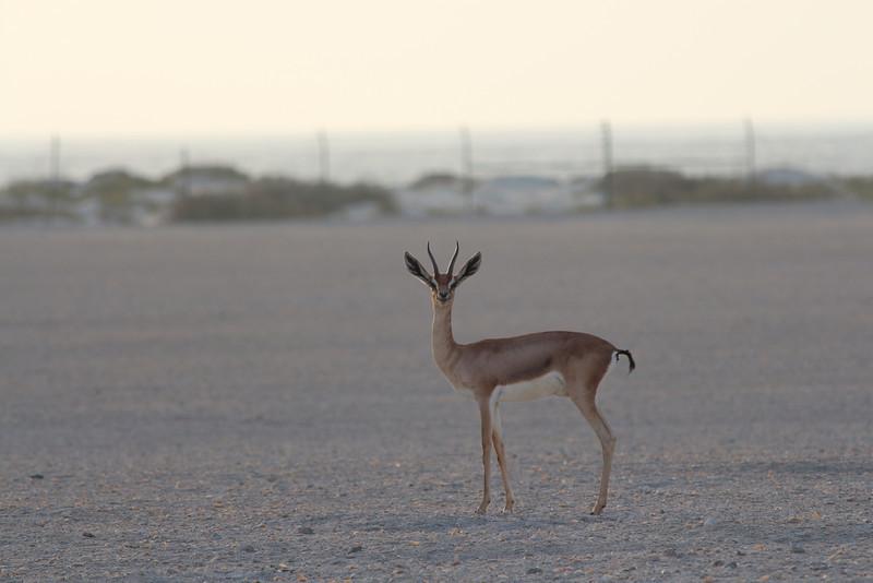 IMG_7132_Arabian Oryx_024.JPG