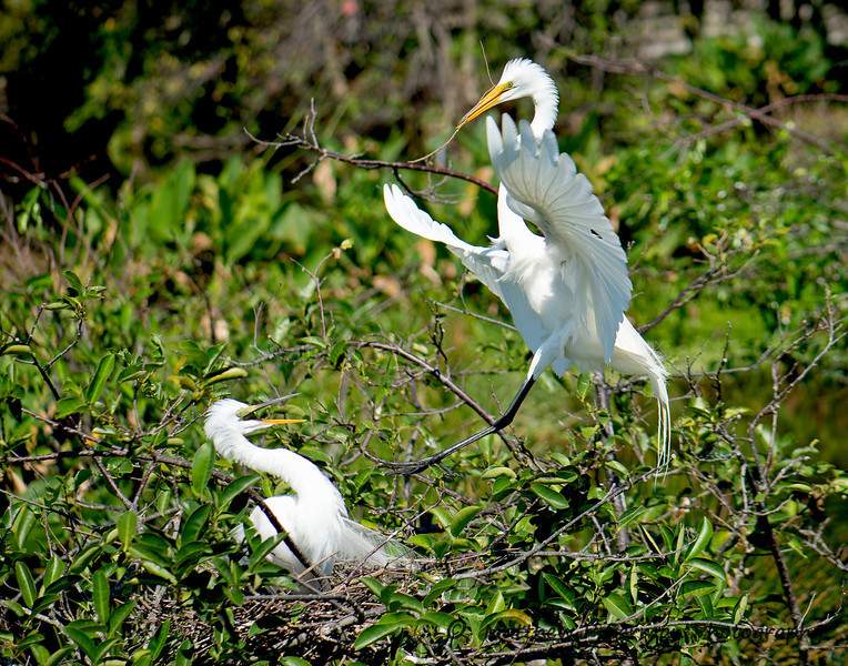 568  Great White Egrets LR.jpg